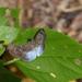 Pythonides grandis - Photo (c) thibaudaronson, μερικά δικαιώματα διατηρούνται (CC BY-SA)