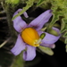 Solanum palinacanthum - Photo (c) aacocucci, some rights reserved (CC BY-NC)