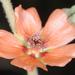 Sphaeralcea cordobensis - Photo (c) aacocucci, algunos derechos reservados (CC BY-NC)