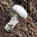 Hypomyces chrysospermus - Photo (c) J. Maughn, algunos derechos reservados (CC BY-NC)