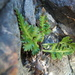 Asplenium appendiculatum - Photo (c) tony_wills, μερικά δικαιώματα διατηρούνται (CC BY-SA), uploaded by Tony Wills