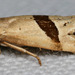 Broad-patched Eugnosta Moth - Photo (c) cotinis, some rights reserved (CC BY-NC-SA)