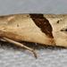 Eugnosta sartana - Photo (c) cotinis, algunos derechos reservados (CC BY-NC-SA)