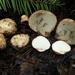 Rhizopogon - Photo (c) noah_siegel, algunos derechos reservados (CC BY-NC-SA)