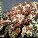 Erichansenia epithallina - Photo (c) tom_carlberg,  זכויות יוצרים חלקיות (CC BY-NC)