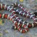 Serpiente Rey de Montaña - Photo (c) jeremywright, algunos derechos reservados (CC BY-NC)