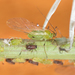 Macrosiphum euphorbiae - Photo ללא זכויות יוצרים