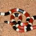 Serpiente Coralillo Sonorense - Photo (c) jeremywright, algunos derechos reservados (CC BY-NC)