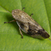 Spittlebugs, Cicadas, Leafhoppers and Treehoppers - Photo (c) Nikolai Vladimirov, some rights reserved (CC BY-NC)