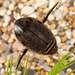 Lesser Diving-Beetle - Photo (c) Nikolai Vladimirov, some rights reserved (CC BY-NC)