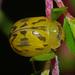 Paropsisterna obliterata - Photo (c) Simon Grove, μερικά δικαιώματα διατηρούνται (CC BY-NC), uploaded by Simon Grove (TMAG)