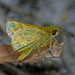 Yellow-banded Dart - Photo (c) Simon Grove, some rights reserved (CC BY-NC), uploaded by Simon Grove (TMAG)