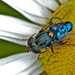 Metallic Blue Hover Fly - Photo (c) steve_kerr, some rights reserved (CC BY), uploaded by Steve Kerr