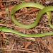 Culebra Verde Rugosa - Photo (c) Royal Tyler, algunos derechos reservados (CC BY-NC-SA)