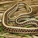 Thamnophis sirtalis sirtalis - Photo (c) johnwilliams, osa oikeuksista pidätetään (CC BY-NC), uploaded by johnwilliams
