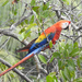 Scarlet Macaw - Photo (c) jauregui, some rights reserved (CC BY-NC)