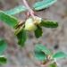 Euphorbia bombensis - Photo (c) Eric Keith, osa oikeuksista pidätetään (CC BY-NC)