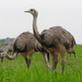 Greater Rhea - Photo (c) Thorsten Stegmann, some rights reserved (CC BY-NC)