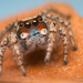 Habronattus luminosus - Photo (c) Thomas Shahan, μερικά δικαιώματα διατηρούνται (CC BY-NC)