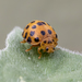 Henosepilachna vigintioctopunctata - Photo (c) Luís Roberto Silva, μερικά δικαιώματα διατηρούνται (CC BY-NC)