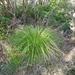 Gahnia pauciflora - Photo (c) leonperrie, algunos derechos reservados (CC BY-NC-SA), uploaded by Leon Perrie