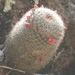 Mammillaria nunezii nunezii - Photo (c) elylezama, algunos derechos reservados (CC BY-NC)