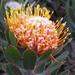 Leucospermum pluridens - Photo (c) Peter Slingsby, algunos derechos reservados (CC BY-NC)