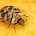 Carpet Beetles - Photo (c) Nadja Baumgartner, some rights reserved (CC BY-NC)