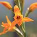 Chloraea chrysantha - Photo (c) Bryan Contreras Aguayo, μερικά δικαιώματα διατηρούνται (CC BY-NC)