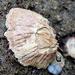 Tesseropora rosea - Photo (c) Pete Woodall, algunos derechos reservados (CC BY-NC)