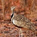 Black-bellied Bustard - Photo (c) Celesta, some rights reserved (CC BY-NC)