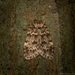 Scaphidriotis xylogramma - Photo (c) Nicholas John Fisher, algunos derechos reservados (CC BY-NC)