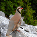 Chukar - Photo (c) Nick Moore, some rights reserved (CC BY-NC)
