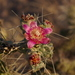 Cylindropuntia fulgida fulgida - Photo (c) rpmundo, some rights reserved (CC BY-NC)