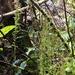 Weymouthia - Photo (c) bbi2, μερικά δικαιώματα διατηρούνται (CC BY-NC), uploaded by bbi2