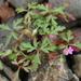 Geranium purpureum - Photo (c) Bas Kers, algunos derechos reservados (CC BY-NC-SA)