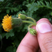 Rayless Arnica - Photo (c) kueda, some rights reserved (CC BY), uploaded by Ken-ichi Ueda