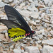 Troides aeacus - Photo (c) djhiker, algunos derechos reservados (CC BY-NC)