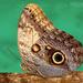 Caligo telamonius memnon - Photo (c) Eduardo Axel Recillas Bautista, alguns direitos reservados (CC BY-NC)