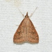 Celery Leaftier Moth - Photo (c) Royal Tyler, some rights reserved (CC BY-NC-SA)