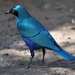 Greater Blue-eared Starling - Photo (c) Dave Govoni, some rights reserved (CC BY-NC-SA)