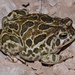 Great Plains Toad - Photo (c) johnwilliams, some rights reserved (CC BY-NC), uploaded by johnwilliams