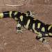 Ajolote Tigre Rayado - Photo (c) johnwilliams, algunos derechos reservados (CC BY-NC), uploaded by johnwilliams