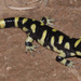 Western Tiger Salamander - Photo (c) johnwilliams, some rights reserved (CC BY-NC), uploaded by johnwilliams