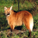 Maned Wolf - Photo (c) tigerweet, some rights reserved (CC BY-NC-ND)