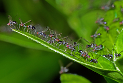 Ant Fly