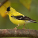 American Goldfinch - Photo (c) Glen Peterson, some rights reserved (CC BY-NC-SA)