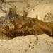 Syphonota geographica - Photo (c) Erik Schlogl,  זכויות יוצרים חלקיות (CC BY-NC)