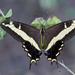 Mariposa Cometa Antillana - Photo (c) djhiker, algunos derechos reservados (CC BY-NC)