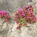 Polygaloides chamaebuxus - Photo (c) Andrea Peterlongo,  זכויות יוצרים חלקיות (CC BY-NC)
